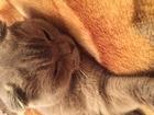 Свежее фото  Ищем кота для вязки 38793053 в Зеленограде