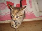 Увидеть фотографию Отдам даром - приму в дар Отдам котенка в добрые руки 67731412 в Зеленограде