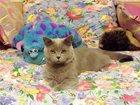 Фото в Кошки и котята Вязка Шотланский страйт. 2 года. Добрый, романтичный в Жукове 0
