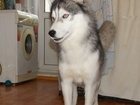 Скачать бесплатно фотографию  Красивый Сибирский Хаски предлагает услуги вязки 39719295 в Златоусте